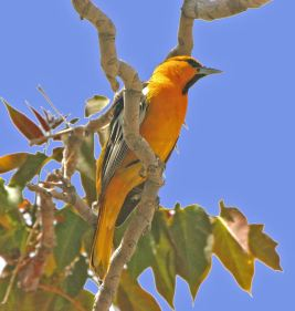 Bullocks-Oriole-by-R.-Gambs